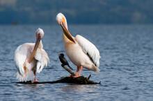 Great White Pelican (Pelecanus Onocrotalus), Lake Naivasha, Kenya