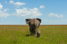 African Elephant (Loxodonta Africana) And Calf, Masai Mara National Reserve, Kenya