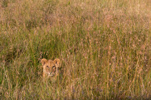 Lion Cub (Panthera Leo) Waiting For Its Mother And Hiding In Tall Grass, Masai Mara National Reserve, Kenya