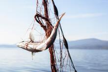 Fish Entangled In Fishing Net