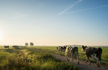 Cows Walk To Pasture After Milking, Wyns, Friesland, Netherlands