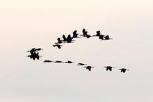 Flock Of Wood Stork (Mycteria Americana) In Sky, Pantanal, Mato Grosso, Brazil