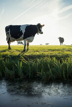 Cow Standing By Ditch, Other Cows On Pasture In Background, Wyns, Friesland, Netherlands