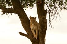 Lioness (Panthera Leo) On Acacia Tree, Masai Mara National Reserve, Kenya
