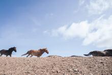 Wild Horses Running, Landmannalaugar, Iceland