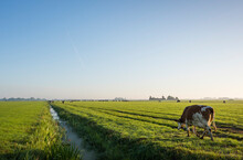 Cows Walk To Pasture After Milking, Wyns, Friesland, Netherlands
