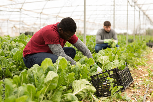 Fototapeta African-american worker cleans mangold on plantation. High quality photo obraz