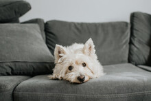 Pet Terrior Dog Resting On Couch In Living Room
