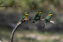 Three Little Bee-eaters (Merops Pusillus) Sitting On Branch,  Ndutu, Ngorongoro Conservation Area, Serengeti, Tanzania