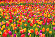 Bed Of Red, Pink, Orange And Yellow Tulips In Spring, Quebec, Canada