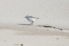 Endangered Five Year Old Male Snowy Plover Scans The Sky For Predators On An Oregon Beach