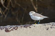 Endangered Nine Year Old Female Snowy Plover On An Oregon Beach