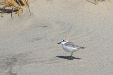 Endangered Nine Year Old Female Snowy Plover Scans The Sky For Predators On An Oregon Beach