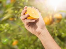 Man Holding And Squeezing Freshly Picked Orange In Orange Grove, Jamaica.