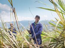 Workers Cutting Sugarcane In Field On Sugarcane Plantation, Jamaica.