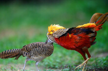 Golden Pheasant Or Red Golden Pheasant, The Most Beautiful Chicken