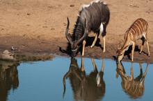 Nyala Male And Female Drinking