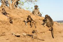 Family Of Vervet Monkeys Interacting