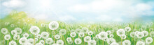 Vector White Dandelions Field. Spring Nature Background.