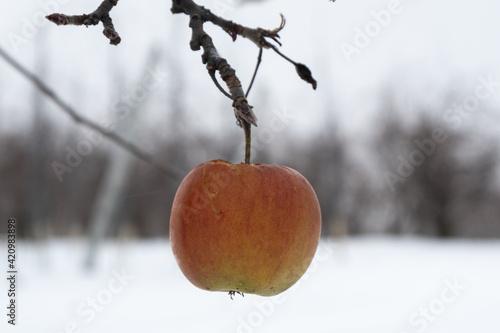 Fototapeta jabłko na drzewie zimą obraz
