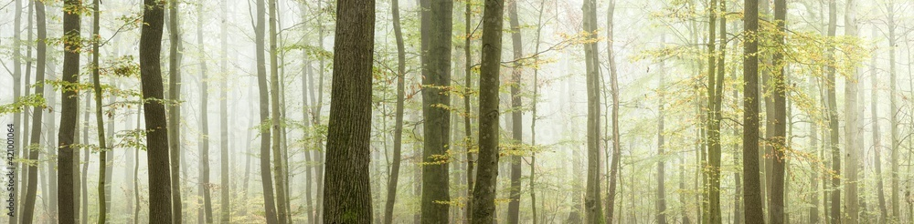 Fototapeta Panoramic Background of Foggy Beech Forest in Autumn