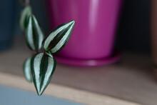 Purple Tradescantia, Wandering Jew Plant. Houseplant In Pink Flowerpot On Shelf.