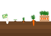 Spring Vector Illustration On The Theme Of Planting And Growing Carrots From Seed To Harvest