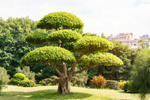 Eucalyptus Bonsai Tree In Garden