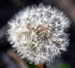 canvas print picture - White fluffy dandelion flower in the center of nature.