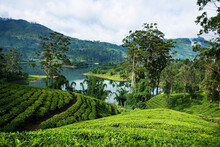 Tea Plantations Around The Castlereagh Reservoir Hatton Sri Lanka