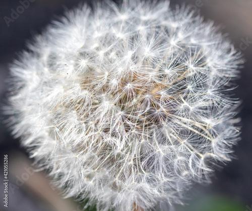 Photo White fluffy dandelion flower in the center of nature.
