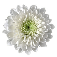 White Single Chrysanthemum Isolated On A White Background In A Square Frame