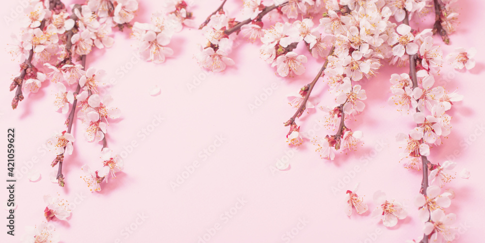Fototapeta cherry flowers on pink paper background