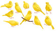 drawing birds, yellow canary