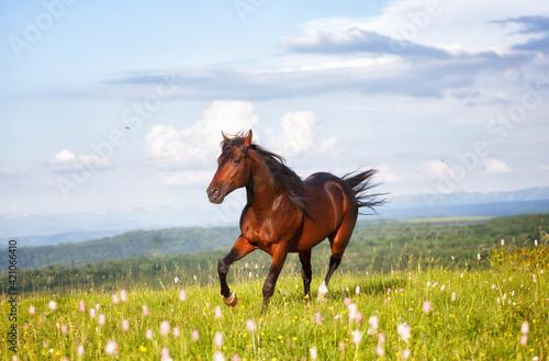 Tela Arab racer runs on a green summer meadow on sunny day