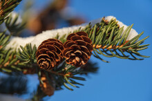 Closeup Of Fir Tree Branch With Two Small Cones Covered By Fresh Snow. Clear Blue Sky In The Background
