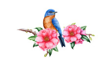 Bluebird And Pink Camellia Flower. Garden Bird Watercolor Illustration. Eastern Sialia Bird With Tender Camellia Spring Flowers And Green Leaves. Realistic Floral Spring Image On The White Background.