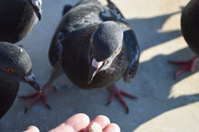 A Pigeon Looking At Food On Its Hand. Feeding Pigeons.