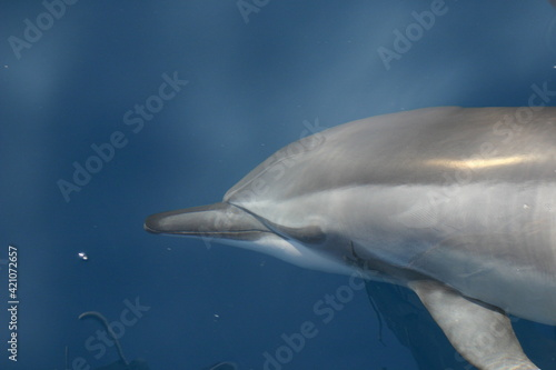Spinner Dolphin Playing on Bow Wave in Maui Hawaii Wallpaper Mural