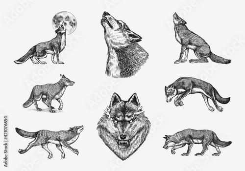 Foto Gray wolf set