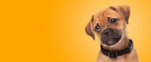 Mixed Breed Puppy, Half Pug, Half Cavalier King Charles Spaniel