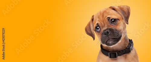 Fotografering mixed breed puppy, half pug, half cavalier king charles spaniel