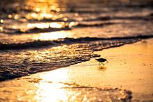 One Sanderling Shorebird Bird Wading Looking For Food In Siesta Key Beach At Sarasota, Florida By Ocean Gulf Of Mexico With Waves Crashing Washing On Shore Quartz Sand