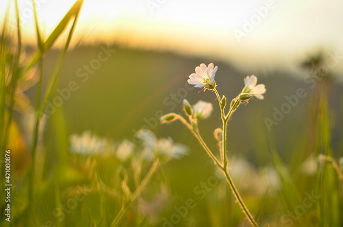 Tela meadow flowers close up lit by the setting sun