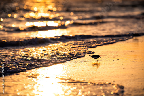 Photo One sanderling shorebird bird wading looking for food in Siesta Key beach at Sar