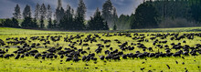 A Large Flock Of Cackeling Geese Feeding In Grass Field At Basket Slough National Wildlife Refuge Near Salem Oregon