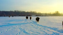 4k Closeup Of Buffalos Following Each Otehr One Behind The Other During An Early Morning Winter Sunrise As Their Reflective Dark Shadows Apprear On The Snow Covered Path Behind The Herd Of Bisons 2-6