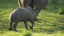 Baby White Rhino Following Its Mother Across The Grasslands Of A Rhino Sanctuary.