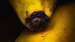 Końcówka banana w powiększeniu