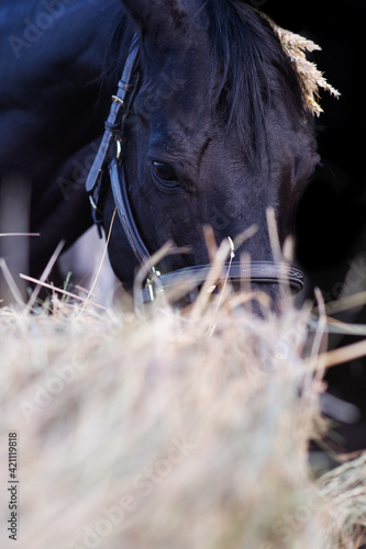 Slika na platnu portrait of beautiful black horse posing nearly hay agaist black background